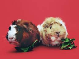 Guinea pigs at petting zoo for hire
