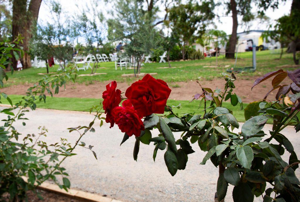 Rose Social roses